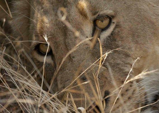 Pondoro Game Lodge:                   Lion