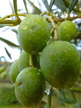Alegria in Aups: Eigene Oliven