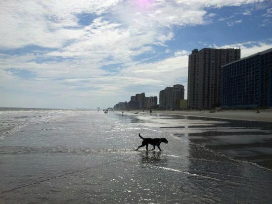 Sea Mist Oceanfront Resort: Labby girl enjoying the water :) Lovely vacation.