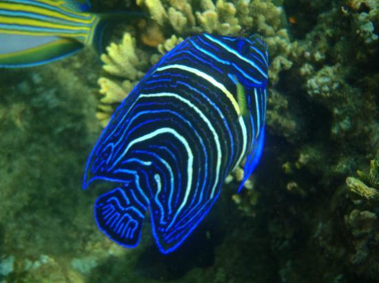 Hideaway Island Resort: Blue Angelfish (Juv)
