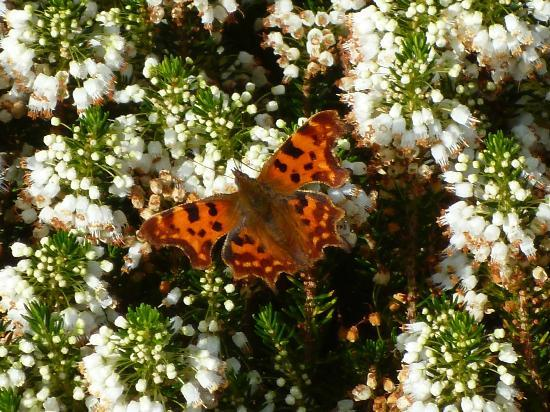 Nymans Gardens and House: comma butterfly