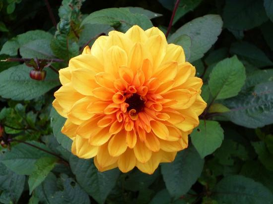 Nymans Gardens and House: dahlia