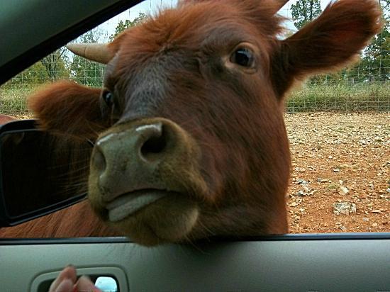 Circle G Ranch: Wild Animal Park & Camel Safari: cow in the car. lol