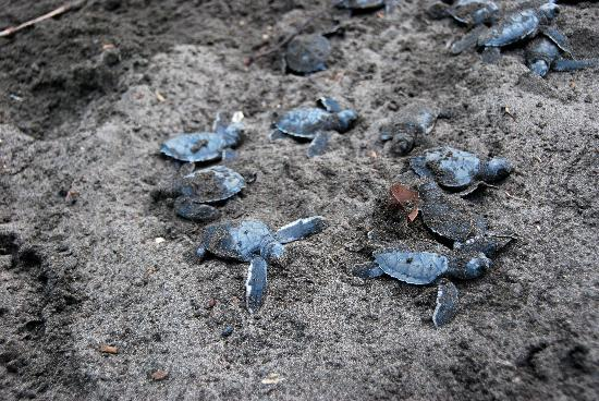 Hotel Manatus: Turtles hatching