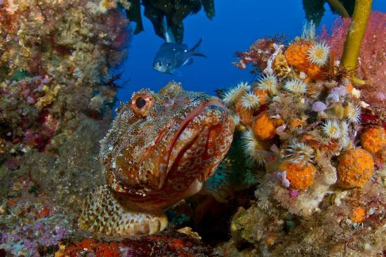 Yukon Dive: Scorpion Fish