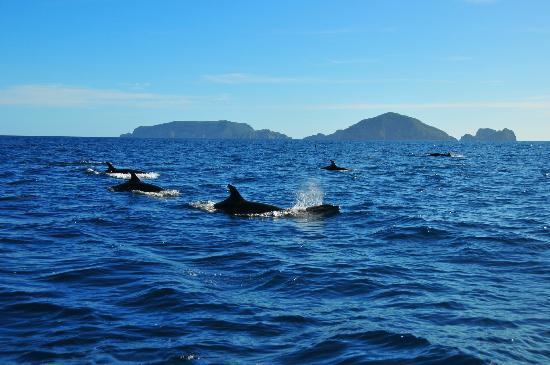 Yukon Dive: Dolphins with the Poor Knights Islands in the background