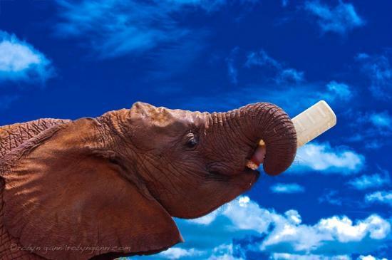 David Sheldrick Wildlife Trust : Elephant orphan Shukuru helping herself to milk