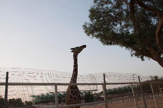 Giraffe at Doha Zoo