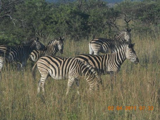 Nambiti Hills Private Game Lodge: Zebra stripes
