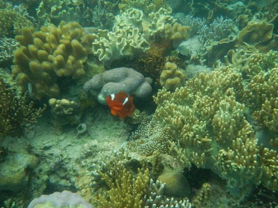 Black Island: finding nemo, clown fish here are a lot bigger compared to the islands near coron town proper