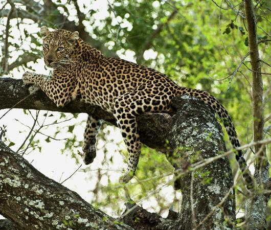 Inyati Game Lodge: A beauty on the tree