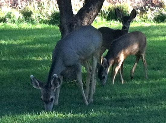 Castle Valley Inn: Mule deer as breakfast guests!