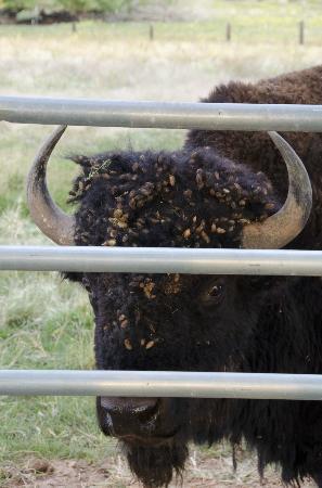 Sunlit Oasis: Bill, the resident buffalo 