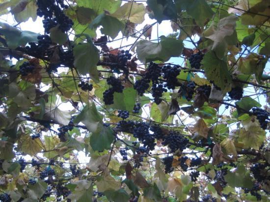 Lookout Farm: Those grape arbors!