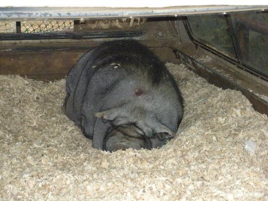 Cranberry Bog Tours: Amazing pig!