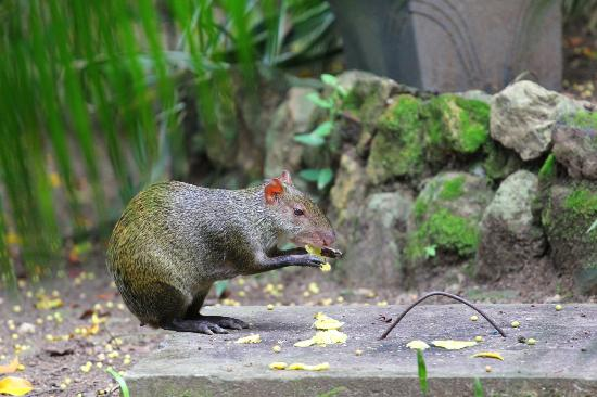 The Balboa Inn: Agouti in de tuin