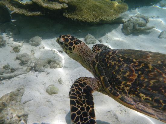 Vilamendhoo Island Resort & Spa: Turtle on the reef