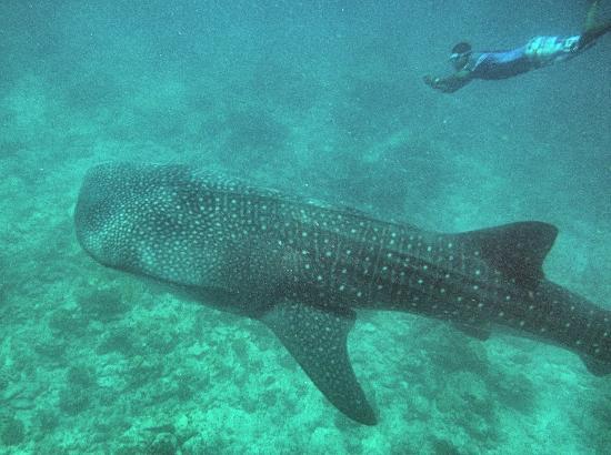 Vilamendhoo Island Resort & Spa: He's so big!