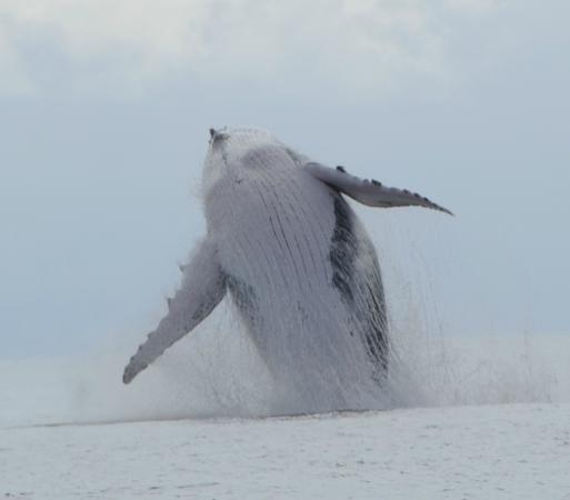 Whale Watching Panama: Female travelling with calf