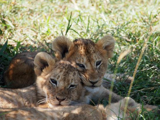 Mara Intrepids Luxury Tented Camp: Lion Cubs