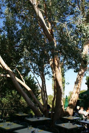 Cote et Jardin: l'eucelyptus sur la terrasse