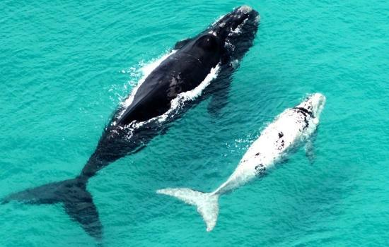 Hermanus-Seekers Day Tours : Mother and Calf