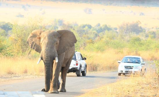 Bakubung Bush Lodge: A Bull elephant decides to charge our Jeep. Quick action by our ranger/guide saved the day.