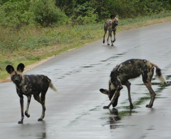 "Rhino Walking Safaris at Plains Camp: A rare sight, Wild Dogs seen during one of our ""drives"""