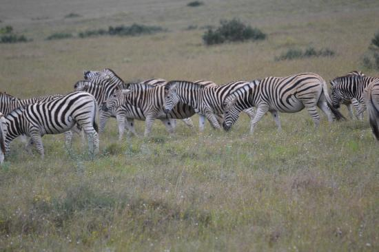 Shamwari Game Reserve Lodges: Lots of Zebra