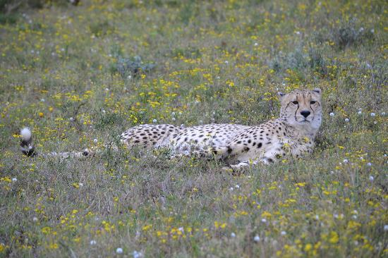 Shamwari Game Reserve Lodges: Chilled out male cheetah