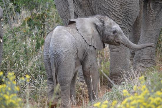 Shamwari Game Reserve Lodges: Baby elephant just a few days old