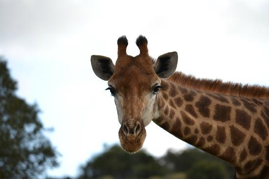 Shamwari Game Reserve Lodges: Giraffe - checking us out