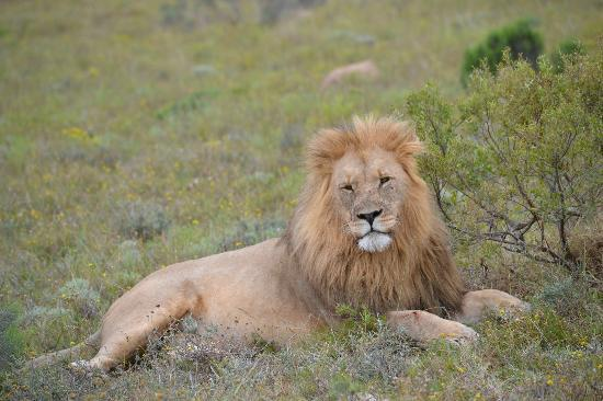 Shamwari Game Reserve Lodges: Relaxed lion
