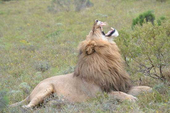 Shamwari Game Reserve Lodges: Lion letting off steam