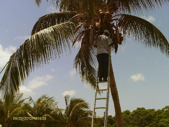 Sugar Cane Club Hotel & Spa: Rodney up a coconut tree