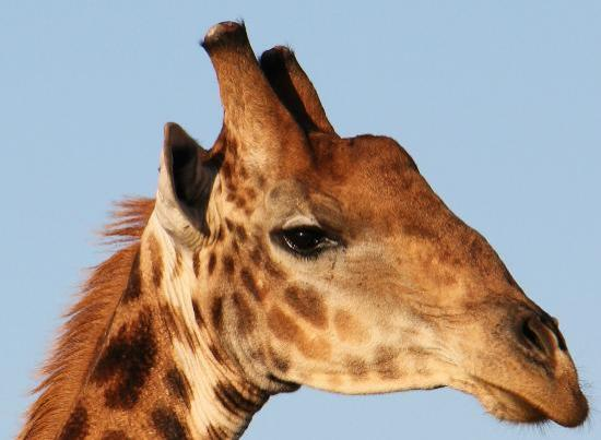 Kwandwe Great Fish River Lodge: I wanted to see giraffe eyelashes. Doc & Siza found them for me
