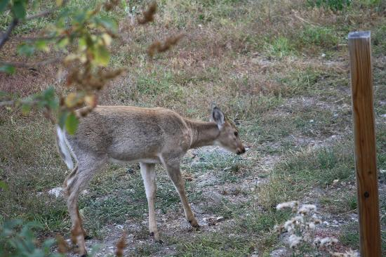 Rocky Fork Inn: White Tailed Deer on the grounds