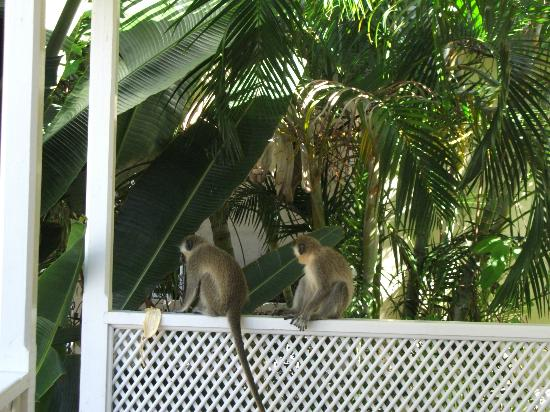 Island Inn Hotel: green monkeys who came to visit