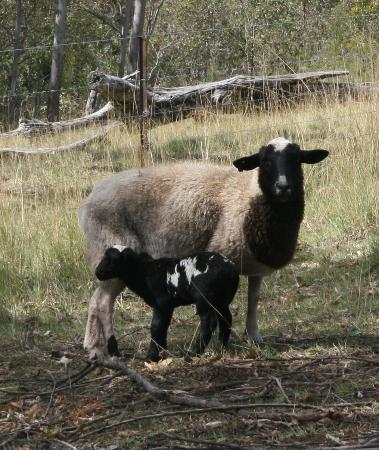 "Bumblebrook Farm Motel: Little ""Jacko"" with his mum"