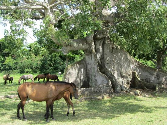 Hacienda Tamarindo: 300 year old Tree