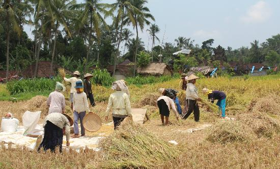 Halo Bike Cycling Tour : getting the rice from field to ready for cooking