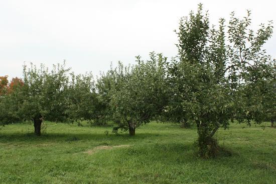 Snell Family Farm: Apple trees