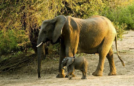 Motswari Private Game Reserve: A calf few weeks old