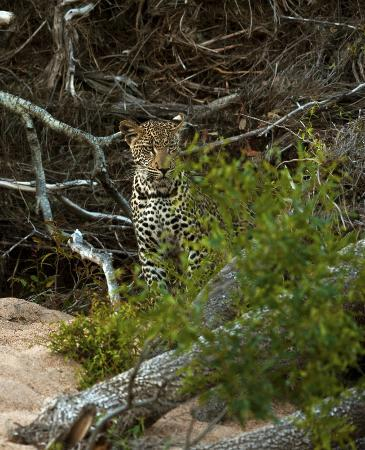Motswari Private Game Reserve: Lost in thought