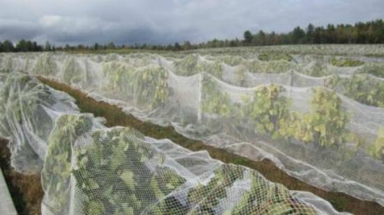 Le Cep D'Argent: Vines protected from the birds