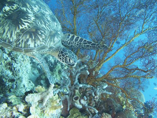 Tasik Ria Resort Manado: turtle