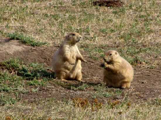 Theodore Roosevelt National Park: Plenty of prairie dogs