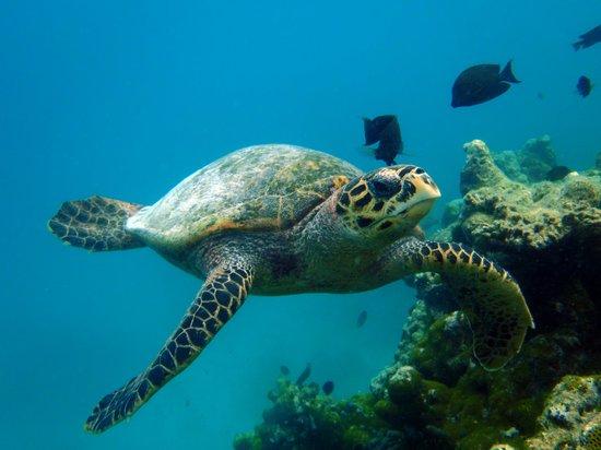 Makunudu Island: Tartaruga 