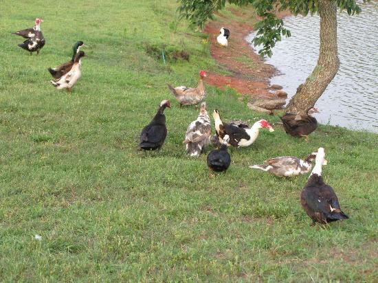 Southern Cross Ranch: Ducks by the pond