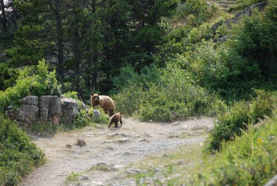 Many Glacier Campground: Momma Grizzly and three cubs